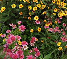 """Prairie Partners  We love how these unfussy selections of native perennials strut their stuff in tandem. The red-eyed blooms of Heliopsis helianthoides """"Prairie Sunset"""" bask in a color harmony with the feisty cones of Echinacea """"Pink Double Delight."""" Enjoy months of flowers and visits by birds and butterflies."""
