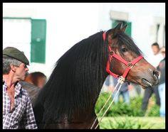 Garrano-Stallion