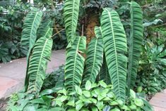 conservatory_3.Philodendron
