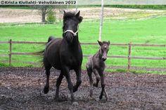 Finnhorse mare Linnia and its foal Kiven Ruusu. Black is quite rare color of Finnhorses.