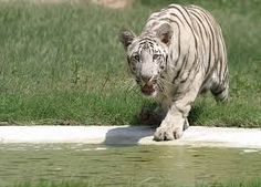 The Chhatbir Zoo, initially called as Mahendra Chaudhary Zoological Park has been a zoological park. It is an abode to a large number of varieties of birds, mammals and reptiles. The Chattbir zoo prides itself with the Royal Bengal tiger.