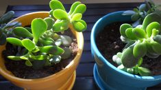 Starting a jade plant from a stem or leaf cutting is almost as easy as caring for jade plants. This article provides tips for rooting a jade plant so you can enjoy more of plants in your home.