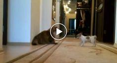 Pachorrento Gato Conhece o Cão Mais Chato Do Mundo http://www.funco.biz/pachorrento-gato-conhece-cao-chato-do-mundo/