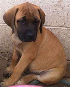 English Mastiff - I want one!!