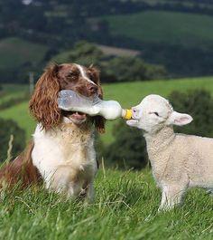 Sheepdog feeds baby lamb. Photo:Richard Austin / Rex cute spaniel