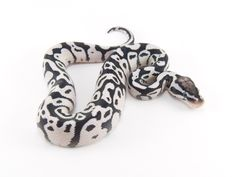 Axanthic Firefly - Morph List - World of Ball Pythons