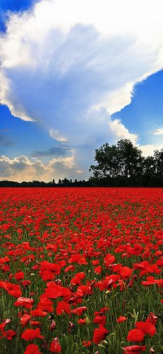 Poppy fields by Michele Catania