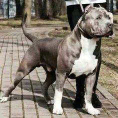 Pitbulls Animals, Pitbull S, Pit Bull, American Pitbull Terrier, Pittbull Amstaff Terrier, Pitbull Terrier, Bull Terriers, Beautiful Dogs, Animals Beautiful, Cute Animals, Wild Animals, Baby Animals, Big Dogs