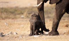 Read about this Baby Ellie who stopped the Elephant train in my blog www.christinelamberth.blogspot.com (Look for the stories on Etosha, Nambia. Wildlife, Elephant, About Me Blog, Train, Photos, Baby, Photography, Animals, Inspiration