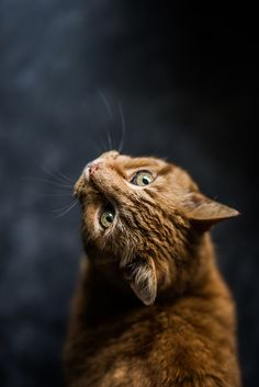 selective focus and low-angle photography of orange tabby cat Photo by alex_andr… Zoo Animals, Animals And Pets, Cute Animals, Cute Kittens, Most Beautiful Cat Breeds, Beautiful Cats, Grumpy Cat, Weimaraner, Cocker Spaniel