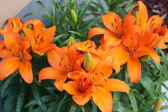 tiger lilies pictures   Tiger Lily Photos