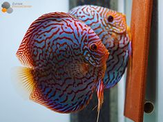 """777 Likes, 7 Comments - Rudolf Wagner (@europadiscuscenter) on Instagram: """"Checkerboard Turquoise Discus pair mating ❤️ #discus #diskus #diskusfische #aquarium #symphysodon…"""""""