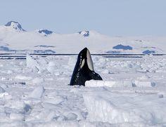 antarctica orca - Google Search