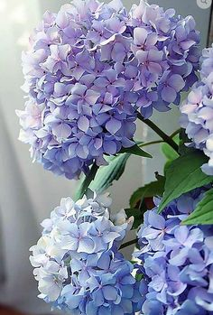 Blue hydrangea macrophylla I love all colors of hydrangeas . Hydrangea Macrophylla, Hortensia Hydrangea, Hydrangea Garden, Hydrangea Flower, Purple Hydrangeas, Blue Peonies, Delphinium, Bloom, Fresh Flowers