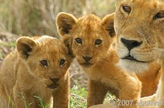 ,      Lioness and her cubs Serengeti NP Tanzania Africa by albolivarphoto on Flickr.