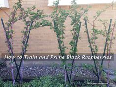 How to Train and Prune Black Raspberries - will help you achieve an abundant harvest and a beautiful edible landscape without struggling against thorns.