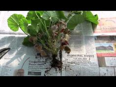 Overwintering Geraniums - Beat Your Neighbor