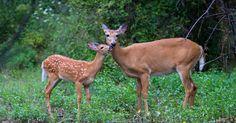 Menacés par les chasseurs, cette biche et son faon ont besoin de notre aide. (Pétition) Saint Germain, France Europe, Animal Rights, Kangaroo, Giraffe, Wildlife, Horses, Animals, Change Org