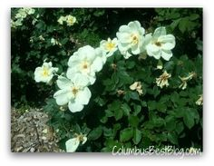 Columbus Park of Roses, this rose is named Sunny Knockout!  Stop and Smell the Roses June 9, 2012  #Clintonville
