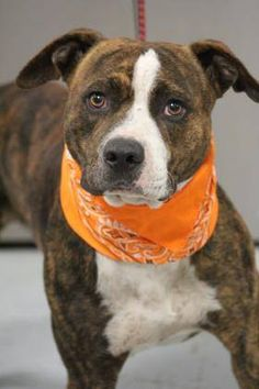 RESCUED>NAME: Rocky  ANIMAL ID: 33671768  BREED: Pit  SEX: male  EST. AGE: 3 yr  Est Weight: 45 lbs  Health: Heartworm test pending  Temperament: dog friendly, people friendly  ADDITIONAL INFO: in house fire  RESCUE PULL FEE: $35  Intake date: 10/4  Available: 10/13