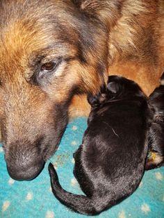 Newborn longhair German Shepherd puppy at the VHR RANCH in Paige Tx