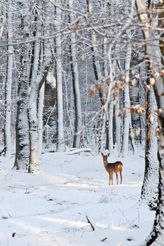Roe Deer in Snowy Woods / Getty Images Snowy Woods, Snowy Forest, Snowy Day, Woods Photography, Winter Photography, Deer Pictures, Deer Pics, Winter Scenery, Rustic Art