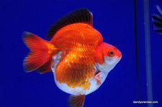 Ryukin Goldfish, Comet Goldfish, Koi, Beta Fish, Chicken Breeds, Water Life, Angel Fish, Fish Tanks, Beautiful Fish