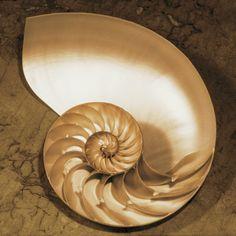 ~Chambered-Nautilus-