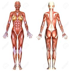 Picture Of Female Body Anatomy Hey Guys Im Starting An Anatomy Study Of The Female Body I Would. Picture Of Female Body Anatomy Female Body Anatomy Isolated On White Stock Photo Picture And. Picture Of Female Body Anatomy Anatomy… Continue Reading →