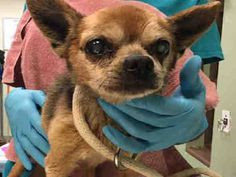 **15 YRS OLD*** MILLER – A1114848 Super Urgent     MALE, BROWN, CHIHUAHUA LH MIX, 15 yrs  STRAY –  Intake condition GERIATRIC Intake Date 06/09/201