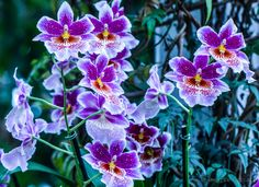 Miltoniopsis by Rosemarie Crisafi: Commonly known as the Pansy orchid because of its flat face resembling that of a pansy, these lesser known orchids are relatively easy to grow doing well at normal household temperatures. #Flowers #Orchids #Miltoniopsis