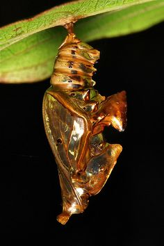 Nature's Chandeliers-Sergeant Butterfly Chrysalis (Athyma sp., Nymphalidae)  Pu'er, Yunnan, China