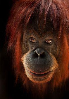 Beautiful orangutan