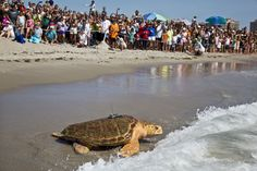 Crowds cheer as Kahuna, 209-pound loggerhead turtle, returns to the ocean in Juno Beach after nearly 2 years of rehab at Loggerhead Marinelife Center