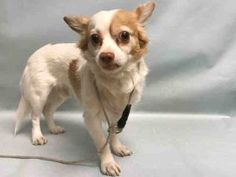 SAFE ♡ KANE – A1105656  **RETURNED 04/03/2017**  MALE, WHITE / TAN, CHIHUAHUA LH MIX, 5 yrs OWNER SUR – EVALUATE, NO HOLD Reason OWNER SICK Intake condition EXAM REQ Intake Date 04/03/2017, From NY 10467, DueOut Date 04/06/2017, I came in with Group/Litter #K17-092910.