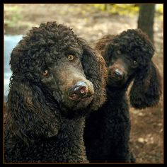 Poodles listening: my black standard does this too, especially when you say her name and make eye contact with her.