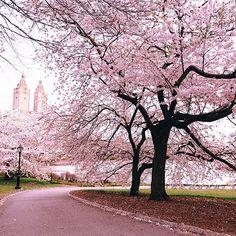 Fairytale days in Manhattan #Spring #Blossoms