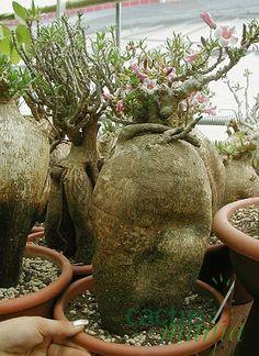 Apocynaceae - Pachypodium Bispinosum: