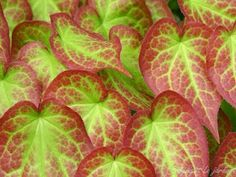 Epimedium rubrum. Plants for shade, semi-evergreen, tough as nails, producing tiny orchid-like flowers in spring.