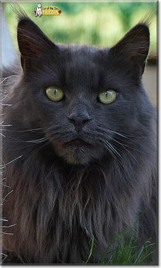 Read Frieda the Maine Coon Cat's story from Bahretal, Saxony, Germany and see…