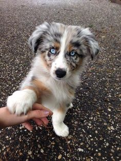 Dog Breeds Puppies Everything About The Energetic Aussie Dogs Personality Breeds Puppies Everything About The Energetic Aussie Dogs Personality Super Cute Puppies, Baby Animals Super Cute, Cute Baby Dogs, Cute Little Puppies, Cute Dogs And Puppies, Cute Little Animals, Doggies, Mixed Breed Puppies, Adorable Dogs
