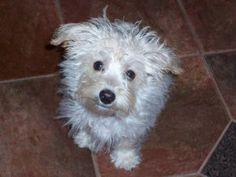 Westie-Poo - Mr. Nigel James is an adoptable West Highland White Terrier Westie Dog in Omaha, NE. If you are interested in adopting, please fill out an ADOPTION APPLICATION Hello, my name is Mr. Nigel...