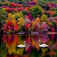 Cisnes en otoño_Swans in autumn All Nature, Amazing Nature, Beauty Of Nature, Spring Nature, Green Nature, Pretty Pictures, Cool Photos, Amazing Photos, Simple Pictures