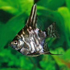 Mono sabar brackish fresh water fish http www for Semi aggressive fish