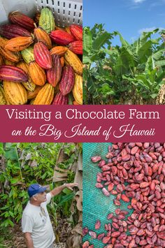 From cacao fruit to chocolate bar: Visiting a Chocolate Farm on the Big Island…