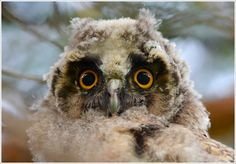 Portrait of a baby Long-eared Owl.. by Tat'yana S..  on 500px