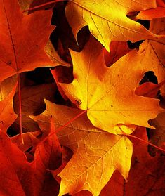 """Autumn Leaves in Macro"" ~ Photography by Amy V. Miller"