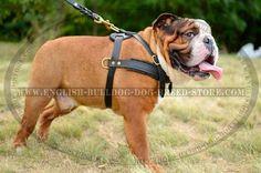 What? You like my new #Harness? #Bulldog