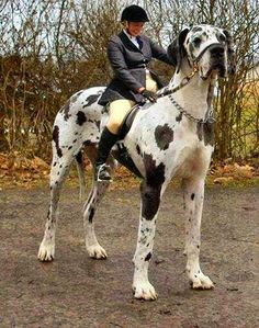 5 Biggest Dogs You have Ever Seen---(I have a Great Dane, fortunately, he isn't quite this big...)