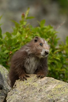Vancouver Island marmot, brought back from extinction in the wild. by Jared Hobbs